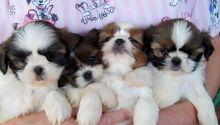 Cute Shih Tzu Puppies Ready Email at ( salamixz53@gmail.com )