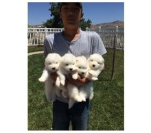 Snow white Samoyed Puppies available Email at ( emajame0@gmail.com )
