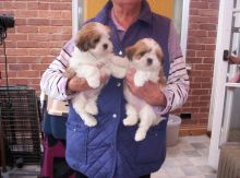 Beautiful Lhasa Apso Puppies Available,