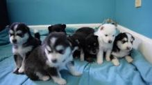 Beautiful Pomsky Puppies Available Email at ( emajame0@gmail.com )