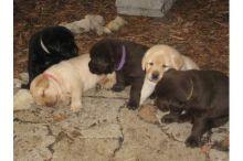 Cute Labrador Retriever Puppies Available Email at (luizmandez1@gmail.com)