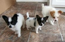 Cute Papillon puppies Available ,