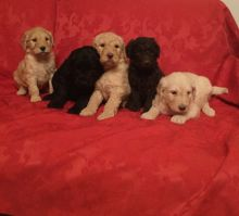 Goldendoodle Puppies available Email at ( kauas2108@gmail.com )