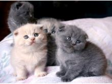 Healthy Scottish Fold Kittens