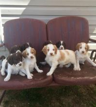 Registered Brittany Spaniel puppies available Email At (emajame0@gmail.com )