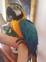 blue and gold macaw available