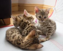 Cute Bengal kittens Available.