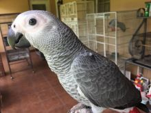 male and female African grey parrots