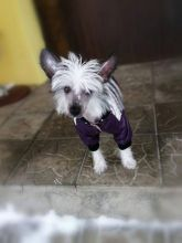 Quality Chinese Crested Puppies Ready For Rehoming