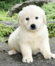 🎄🎄 Ckc ☮ Male ☮ Female ☮ Golden Retrievers 🏠💕Delivery is Possible🌎✈�