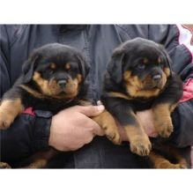 Adorable Rottweiler Pups Available