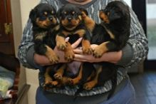 Adorable Rottweiler Pups Available. Email at (lovpau39@gmail.com)