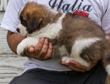 Beautiful Saint Bernard Pups available