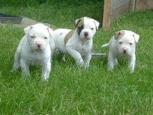Cute American bulldog Available