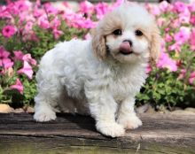 Cute and lovely Cavachon puppies