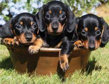 cute baby Dachshund puppies.