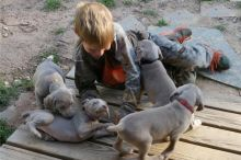 Cute Weimaraner Puppies Available