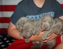 Cute weimaraner puppies Puppies Available