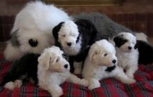 Old English Sheepdog Pups for Rehoming
