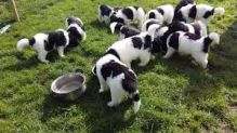 Registered Newfoundland puppies available