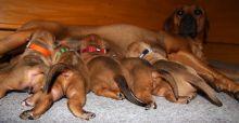 Rhodesian Ridgeback puppies ready.
