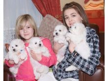 Snow white Bichon Frise Puppies available