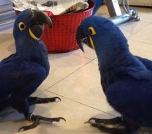 Familly Raised Hyacinth Macaw Parrots Image eClassifieds4u 2