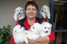 4 Healthy Japanese Splitz puppies ready