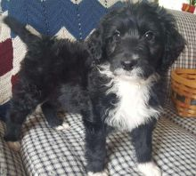 Aussiedoodle puppies available