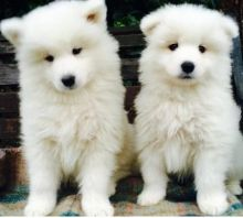 EMAIL(marcbradly1975@gmail.com) For Samoyed Puppies