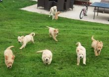Golden Retriever puppies ready for rehoming