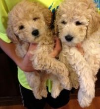 Gorgeous 10 weeks old purebred Poodle puppies for good homes.