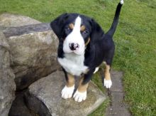 Greater Swiss Mountain Dog puppies ready for adoption