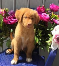 Nova Scotia Duck Tolling Retriever puppies =DETAILS AT (marcbradly1975@gmail.com)=
