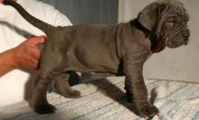 Outstnading Male and female Neopolitan Mastiff puppies ready for adoption