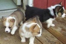 pembroke Welsh Corgi puppies ready