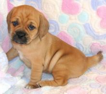 Potty & Home Raised Puggle Puppies