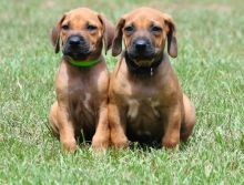 Rhodesian Ridgeback puppies ON shots and dewormed.