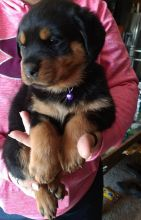 Well Socialized Rottweiler puppies Ready Now !!! (612)470-8177
