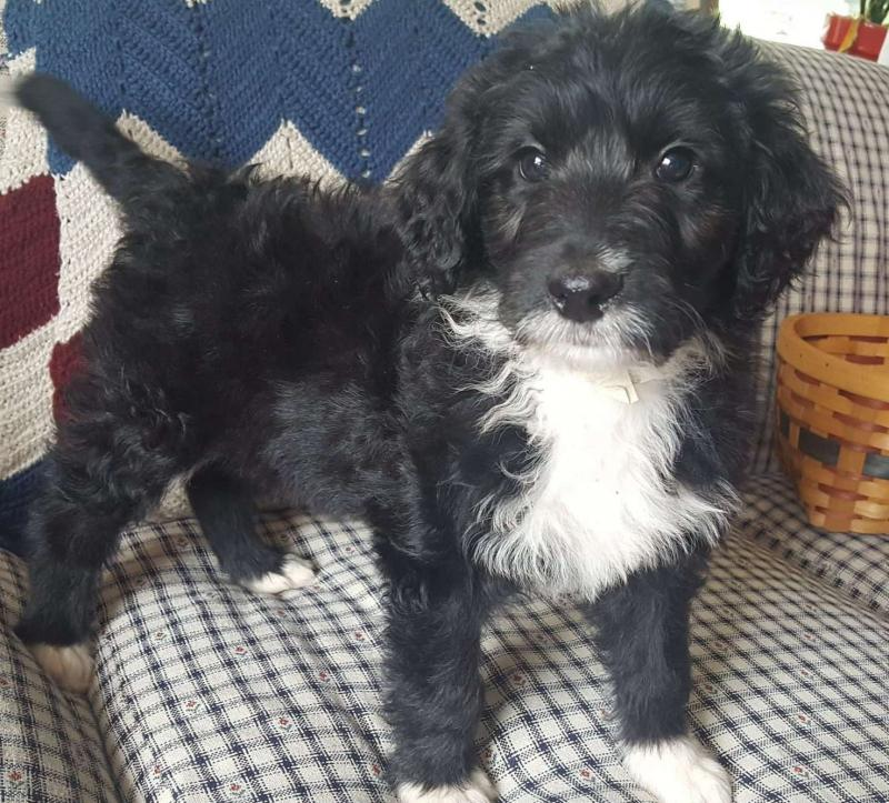 Aussiedoodle puppies available Image eClassifieds4u