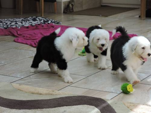Old English Sheepdog puppies EMAIL= ((marcbradly1975@gmail.com))= Image eClassifieds4u