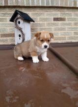 Corgi Puppies For Adoption