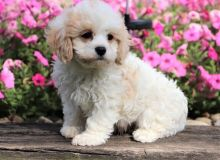 Extremely cute Cavachon Puppies!!!