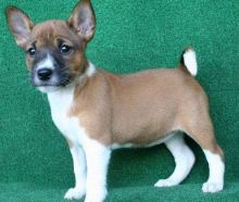 Basenji Puppies for adoption