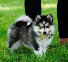 Purebred Pomsky pups need rehoming