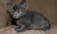 Russian blue kittens pure breed