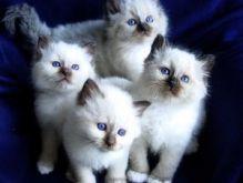 Seal Point Birman Kittens