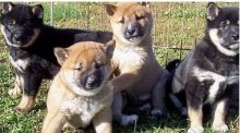 Shiba Inu Puppies are here!