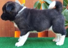 Ottawa Akita Puppies : Dogs, Puppies for Sale Classifieds at