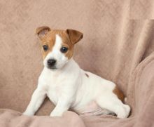 Jack Russell Terrier Puppies For Adoption